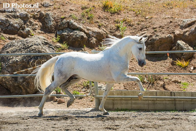 Andalusian horse PRE Horse