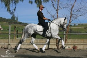 young dressage horse